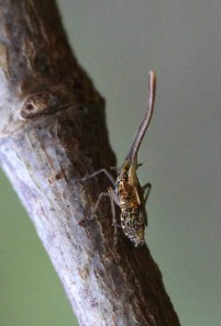 AkokoPlanthopper curtsey of:  http://hawaiianforest.com/akoko-planthoppers-in-the-native-forests